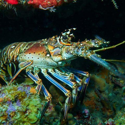 lobster-bernd-large